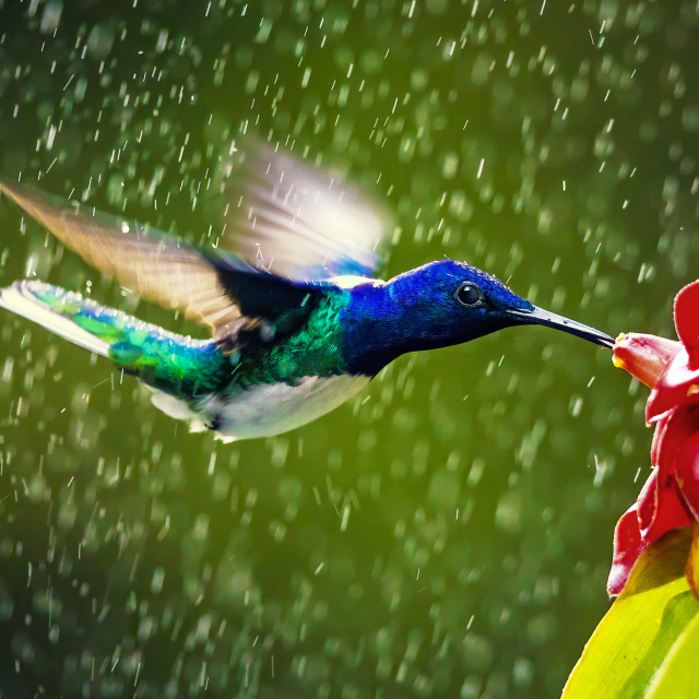 """Hummingbird feeding in the rain"" stock image"