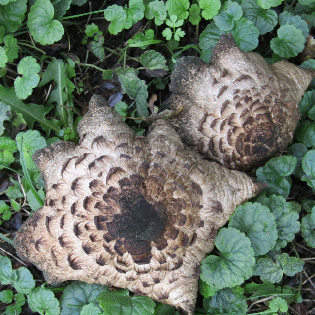 """Large wild mushrooms"" stock image"