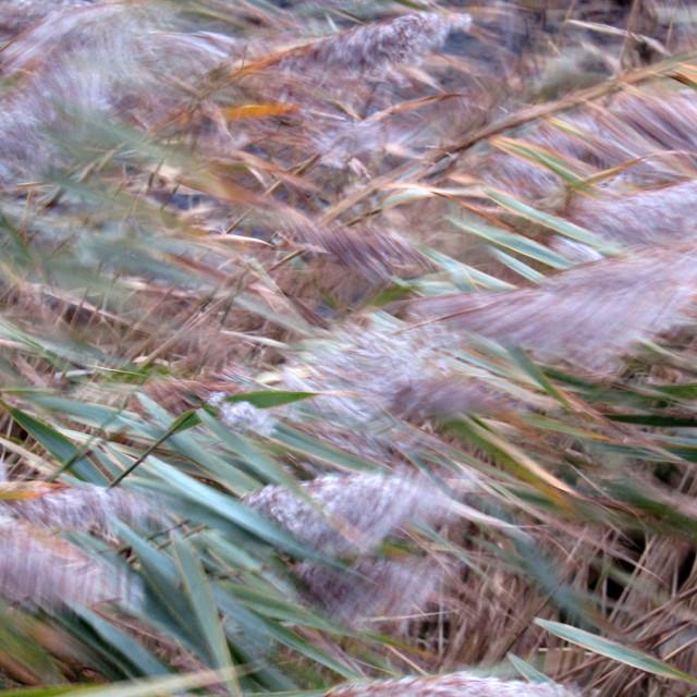 """Wild river reeds blowing on a blustery day"" stock image"
