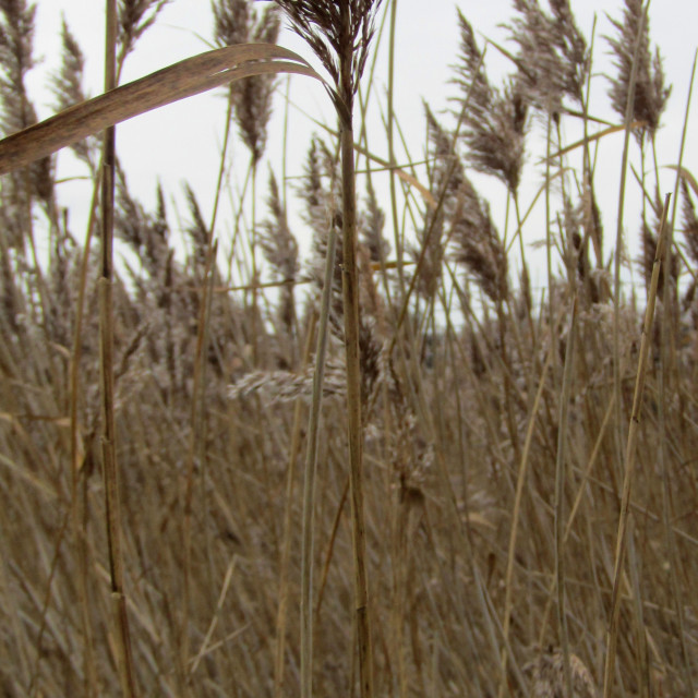 """Dried reed, grasses blowing on a blustery day"" stock image"