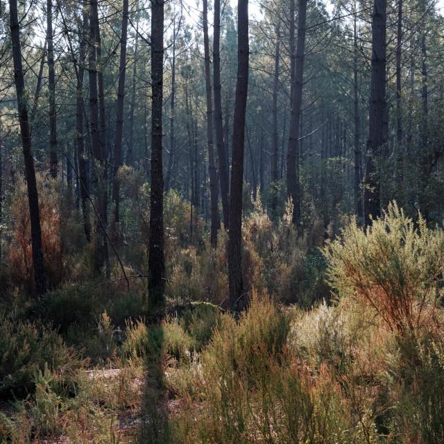 """""""Landes forest"""" stock image"""