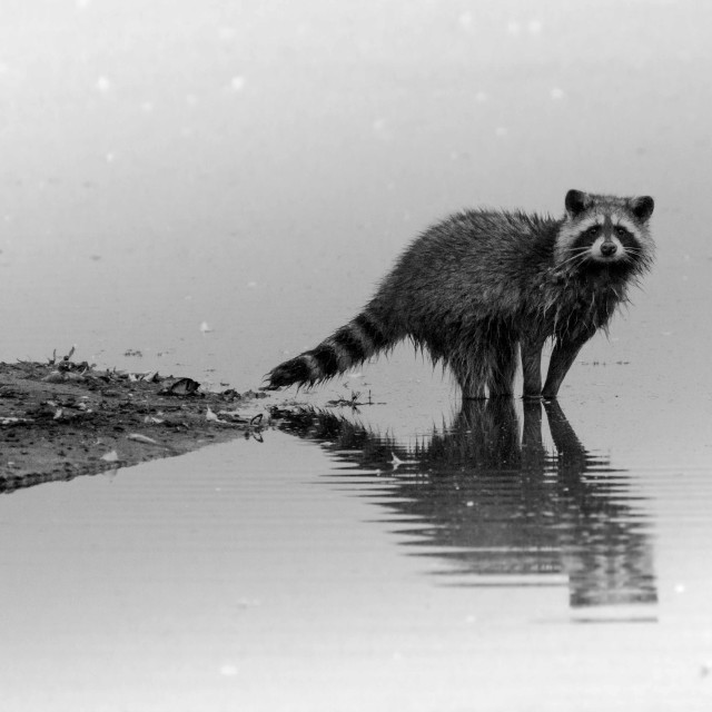 """""""Raccon in the water"""" stock image"""