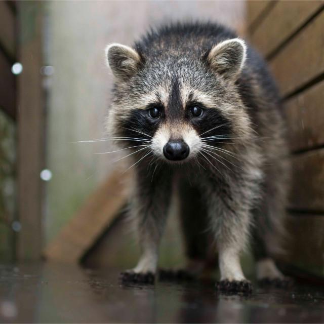 """Defensive racoon"" stock image"