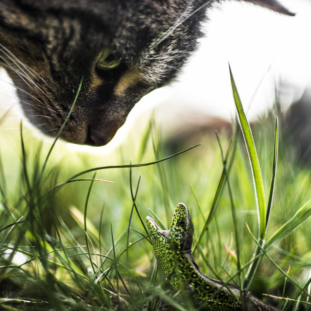 """Lizard vs Cat"" stock image"
