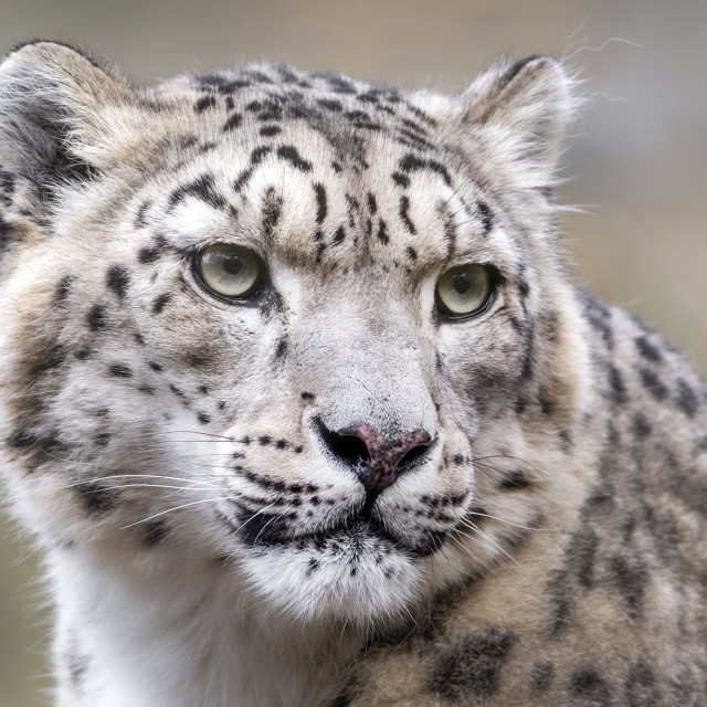 """Female snow leopard (close-up)"" stock image"