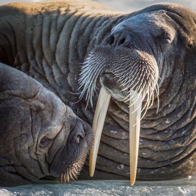 """""""Walrus couple"""" stock image"""