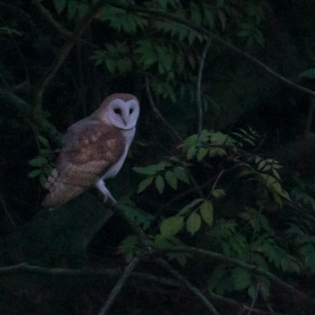 """Barn owl at dusk"" stock image"