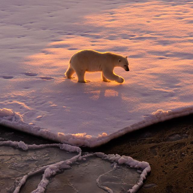 """""""Polar bear sunrise"""" stock image"""