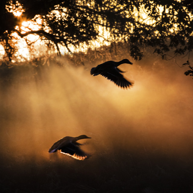 """Ducks at Dawn"" stock image"