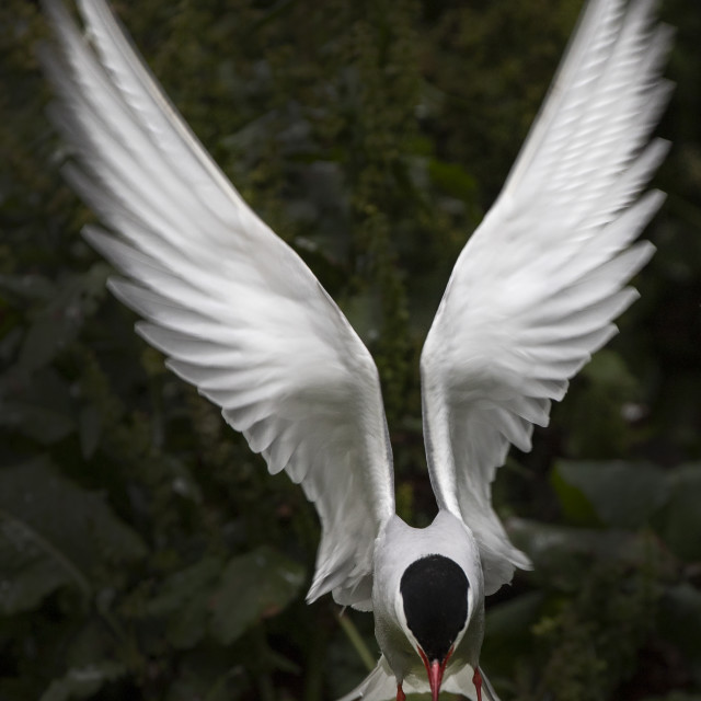 """Arctic Tern Angel"" stock image"