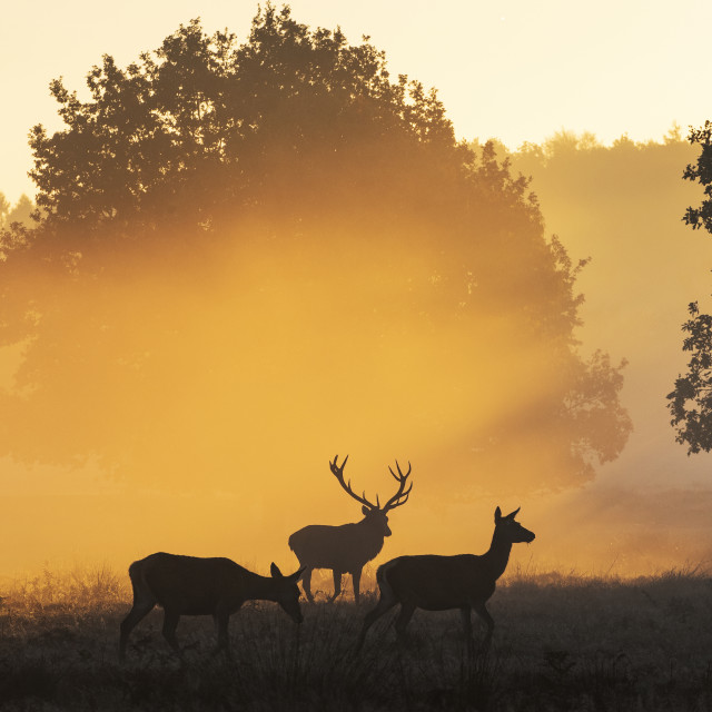 """Stag in the dawn mist"" stock image"