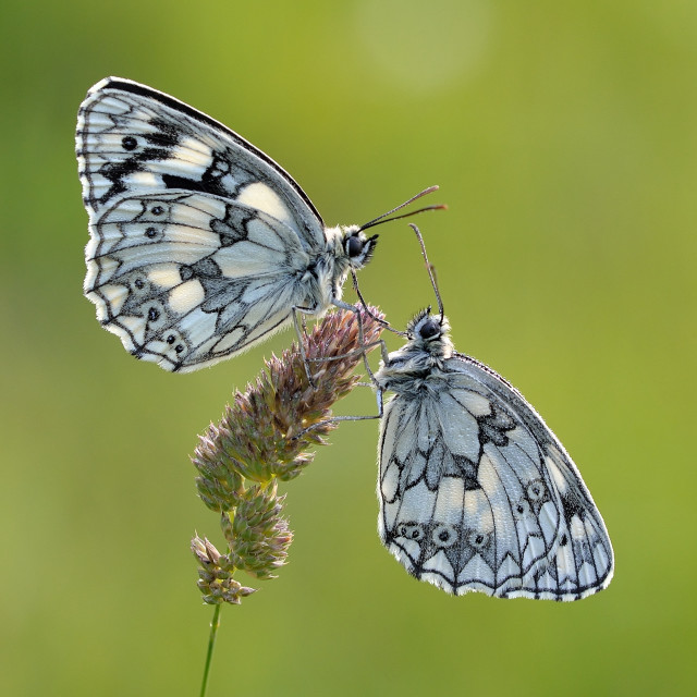 """""""Marbled Whites Roosting."""" stock image"""