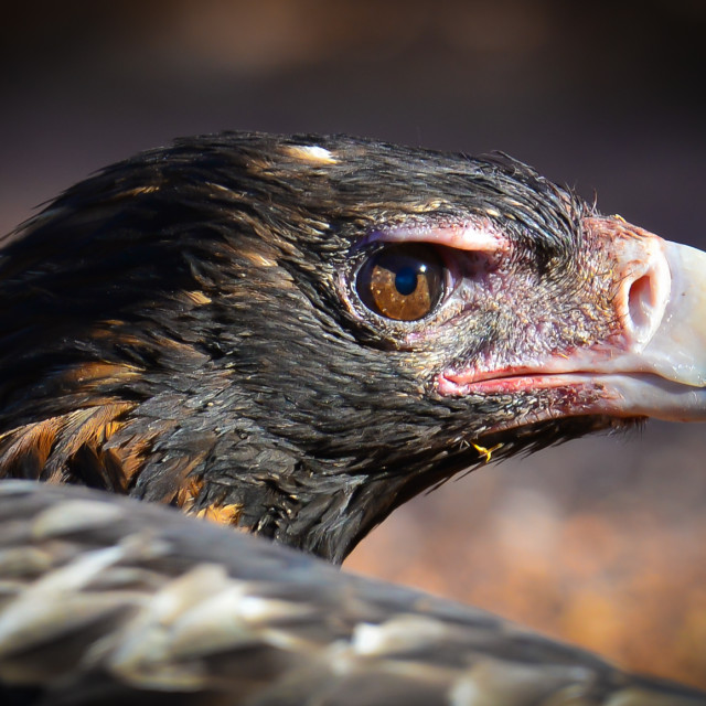 """""""Wedgetail Eagle"""" stock image"""