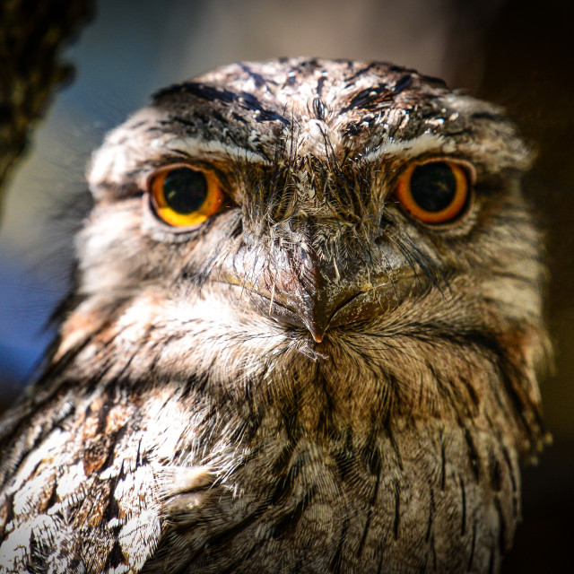 """""""Tawny Frogmouth"""" stock image"""