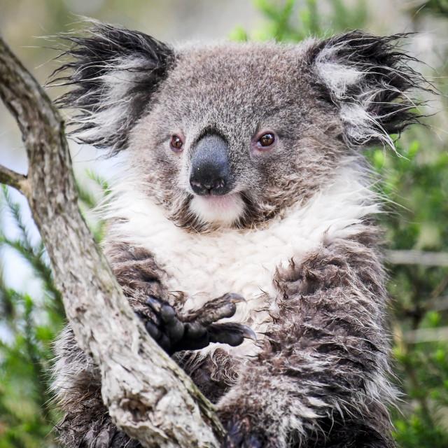 """How Much Can a Koala Bear"" stock image"