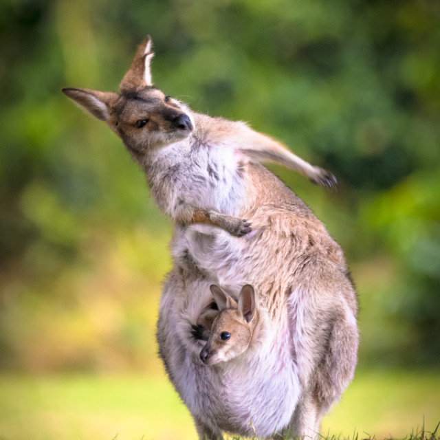 """Mum & Joey"" stock image"