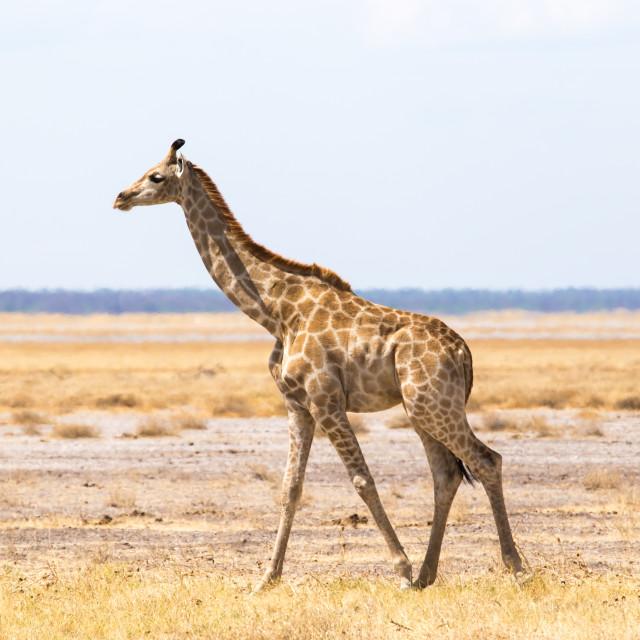 """""""Baby Giraffe"""" stock image"""