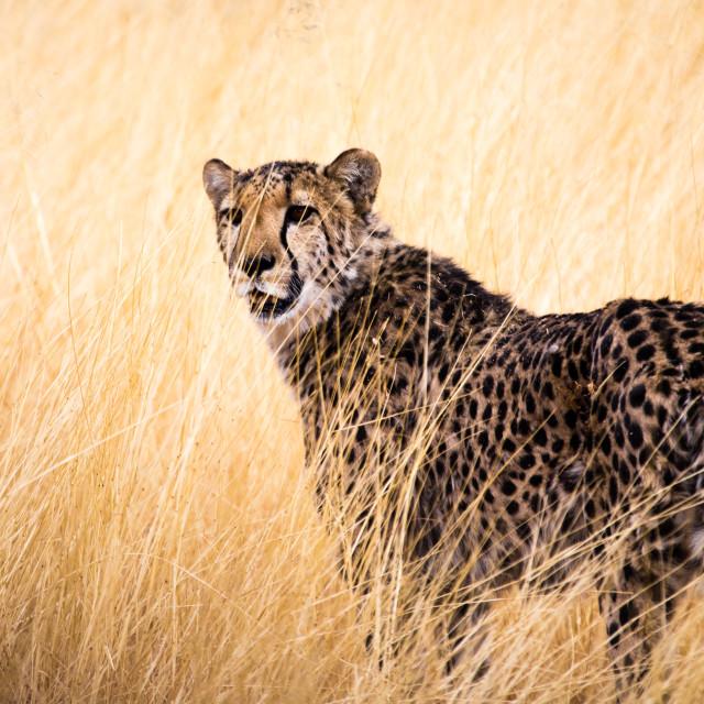 """""""Wild Cheetah"""" stock image"""