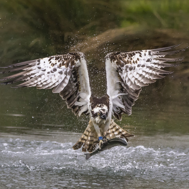 """Osprey with trout"" stock image"