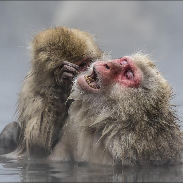 """""""Grooming Monkeys"""" stock image"""