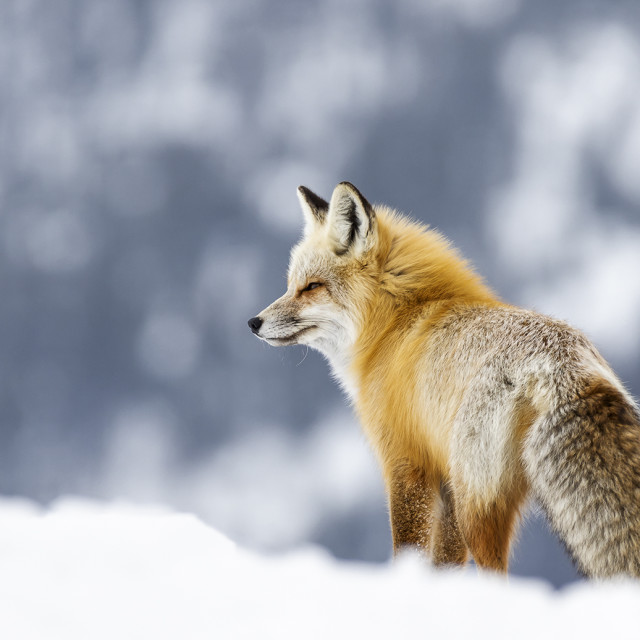 """Red Fox in snow"" stock image"