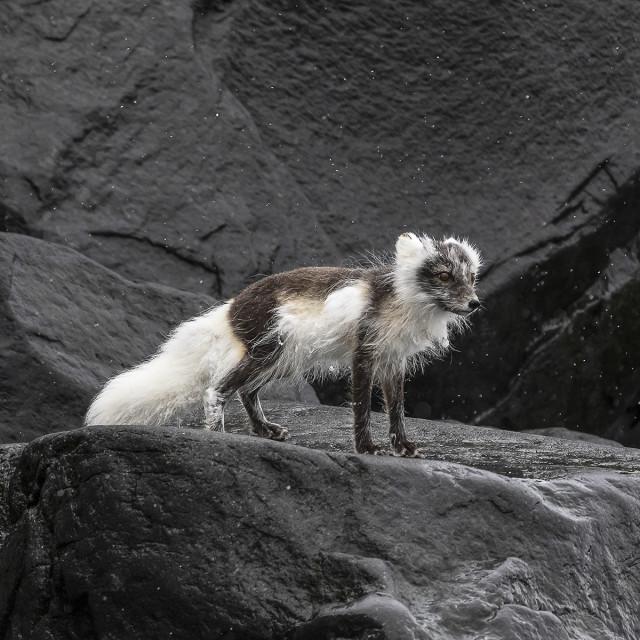 """""""Arctic Fox"""" stock image"""