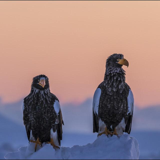 """Steller's Sea Eagle"" stock image"