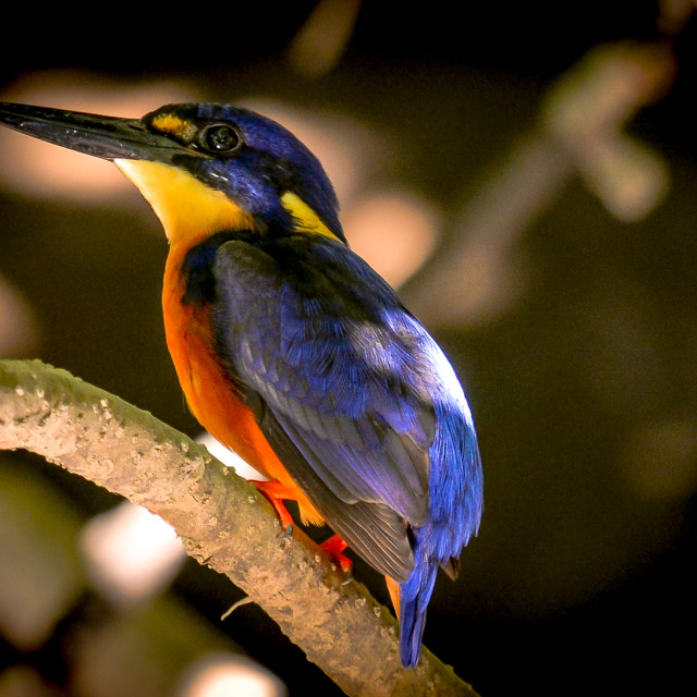 """""""Azure Kingfisher"""" stock image"""