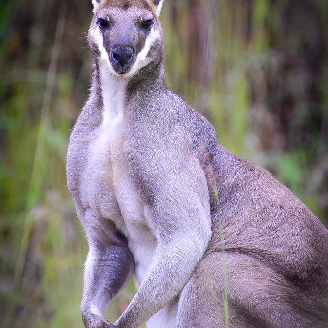 """""""Whiptail Wallaby"""" stock image"""