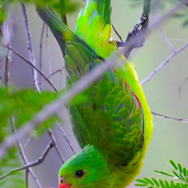 """""""Red-Winged Parrot"""" stock image"""