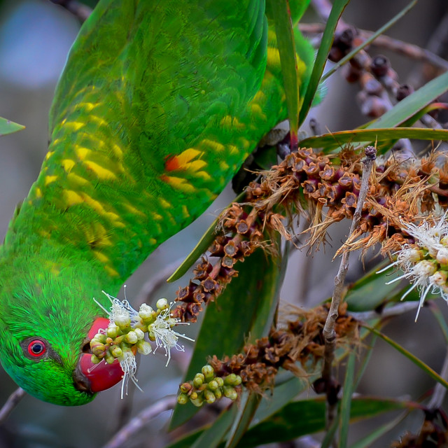 """""""Scaly-Breasted Lorikeet"""" stock image"""