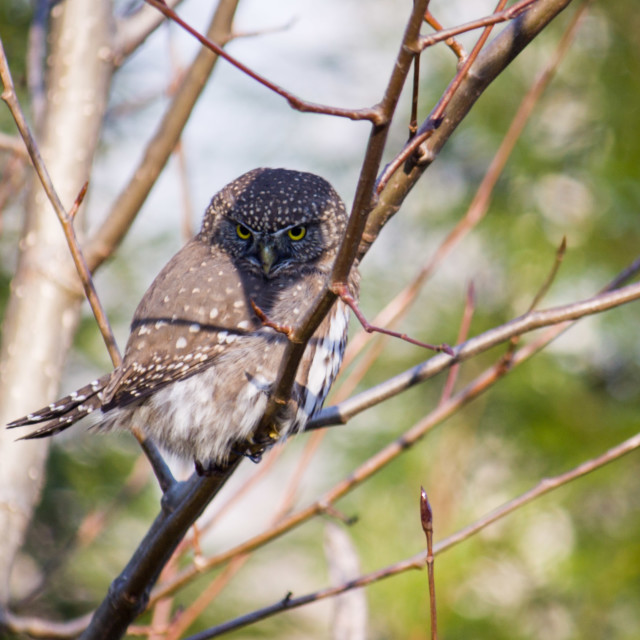 """spotted owl perched in tree"" stock image"