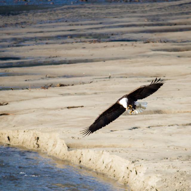 """bald eagle snatching shellfish off beach"" stock image"