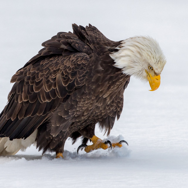 """""""Bald Eagle Walking on the Snow"""" stock image"""