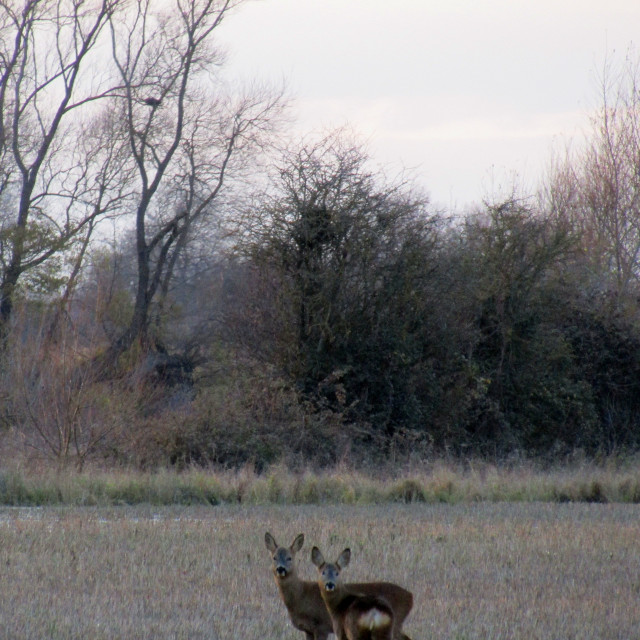 """Small deer in Oxfordshire Autumn field"" stock image"