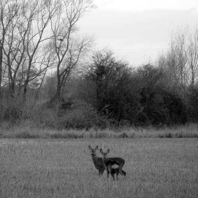 """Monochrome of Small deer in Oxfordshire Autumn field"" stock image"