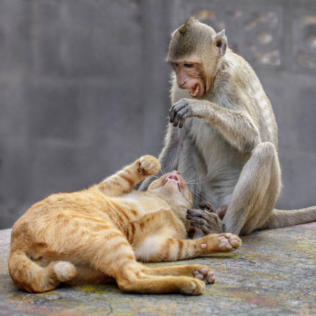 """The Macaque and the Cat"" stock image"