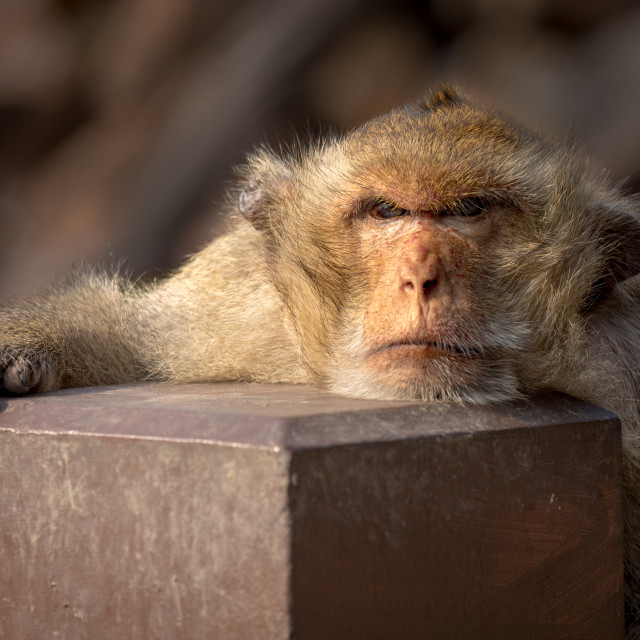 """Grumpy looking Long-tailed Macaque, Lopburi, Thailand"" stock image"