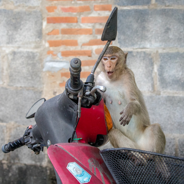"""The Macaque and the Motor Cycle"" stock image"