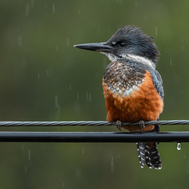 """Ringed Kingfisher in the rain"" stock image"