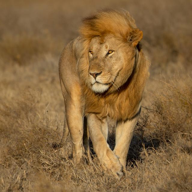 """Male Lion walking through the grass, Tanzania"" stock image"