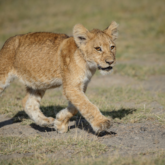 """Lion cub with full belly"" stock image"