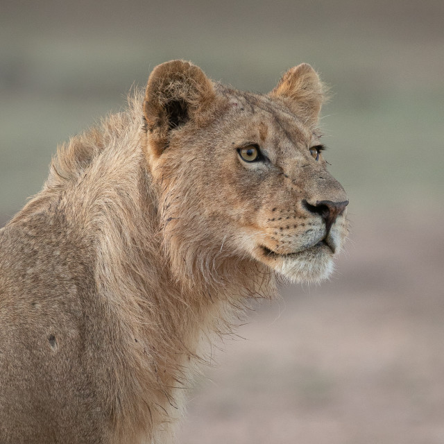 """Young lion looking into the distance"" stock image"
