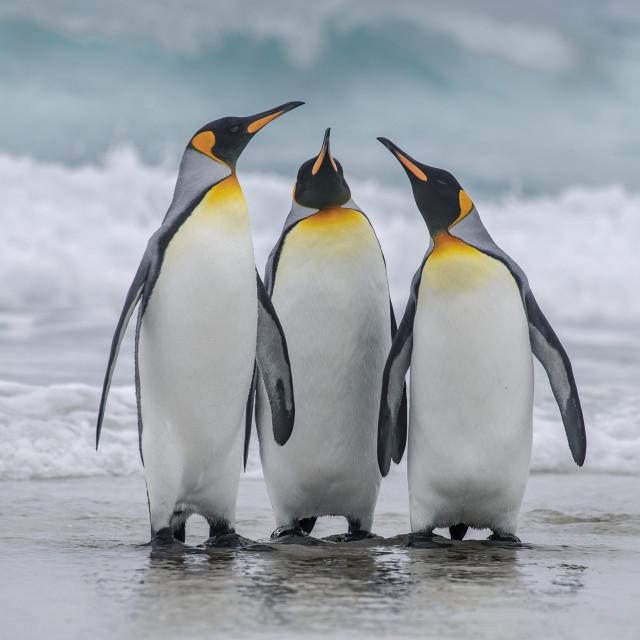 """King Penguin Trio"" stock image"