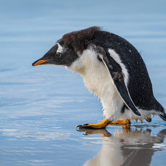 """Young Gentoo Penguin"" stock image"