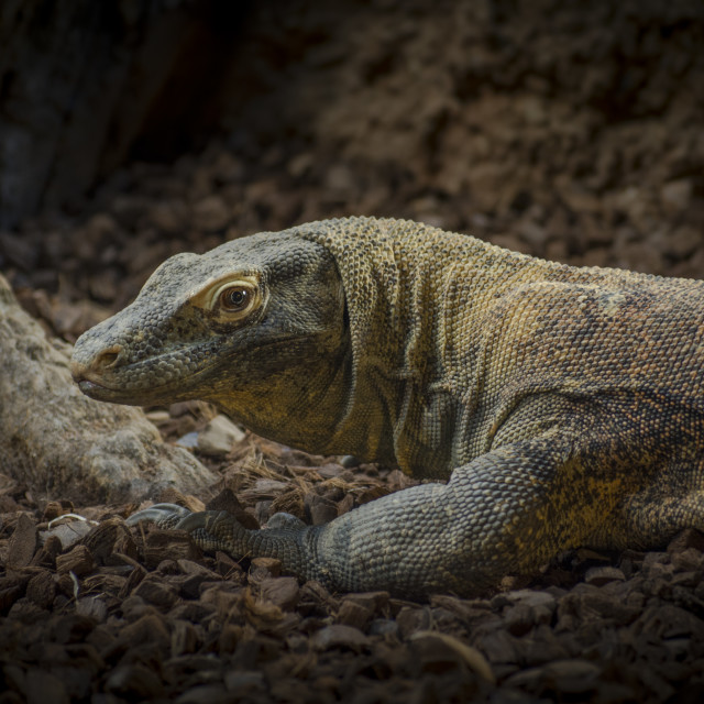 """Komodo Dragon (Varanus komodoensis) endangered lizard from Indonesia."" stock image"