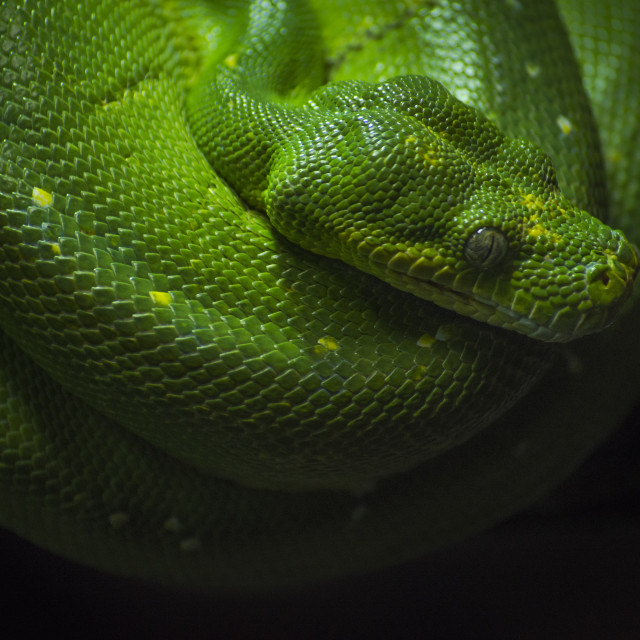 """Green Tree Python, Chondropython Viridis rolled up on a branch"" stock image"