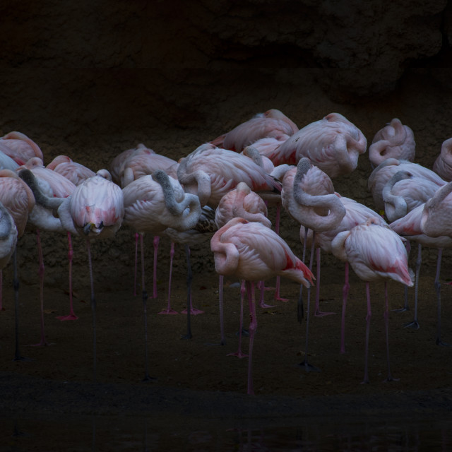 """A Group Of Greater Flamingos Sleeping"" stock image"