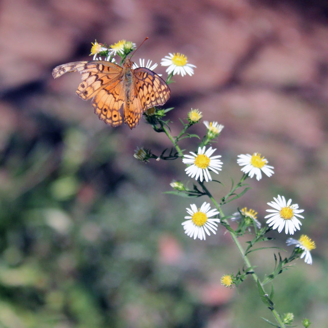 """a butterfly on a daisy"" stock image"