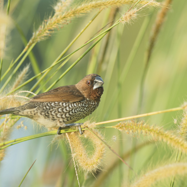 """Scaly Breasted Munia"" stock image"